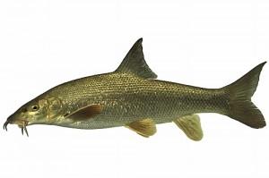 Рыба усач