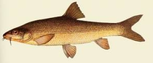 Рыба усач-чанари